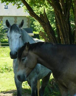Retraite pour chevaux au pré à Caumont